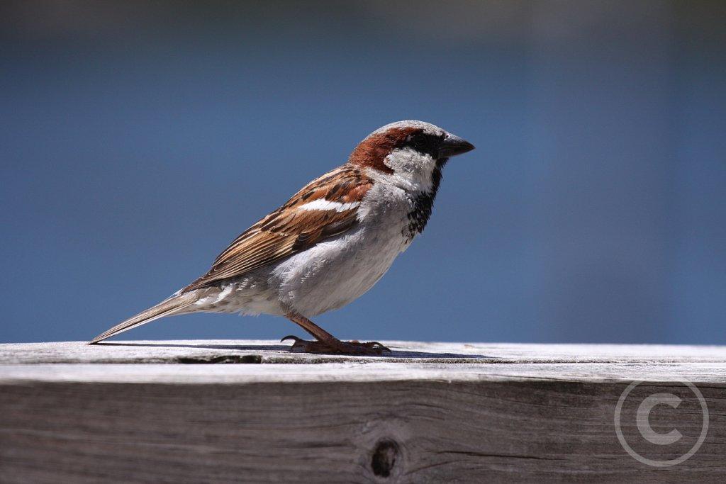 Spurvefugle