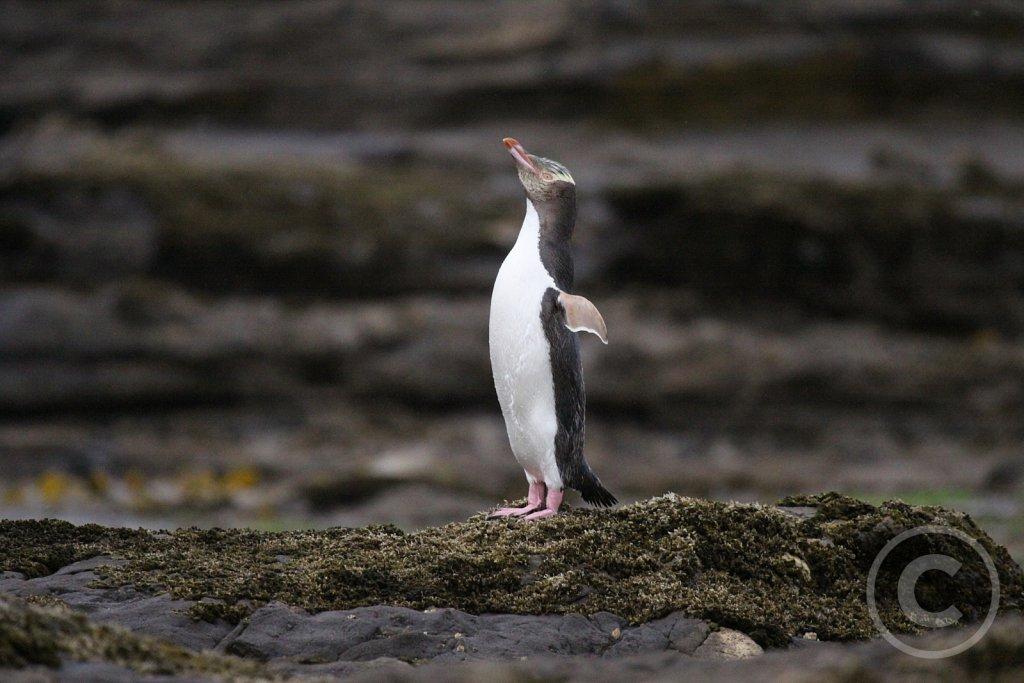 Gulojet-pingvin.JPG