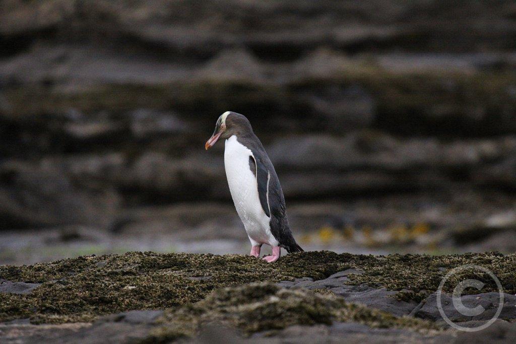 Gulojet-pingvin1.JPG