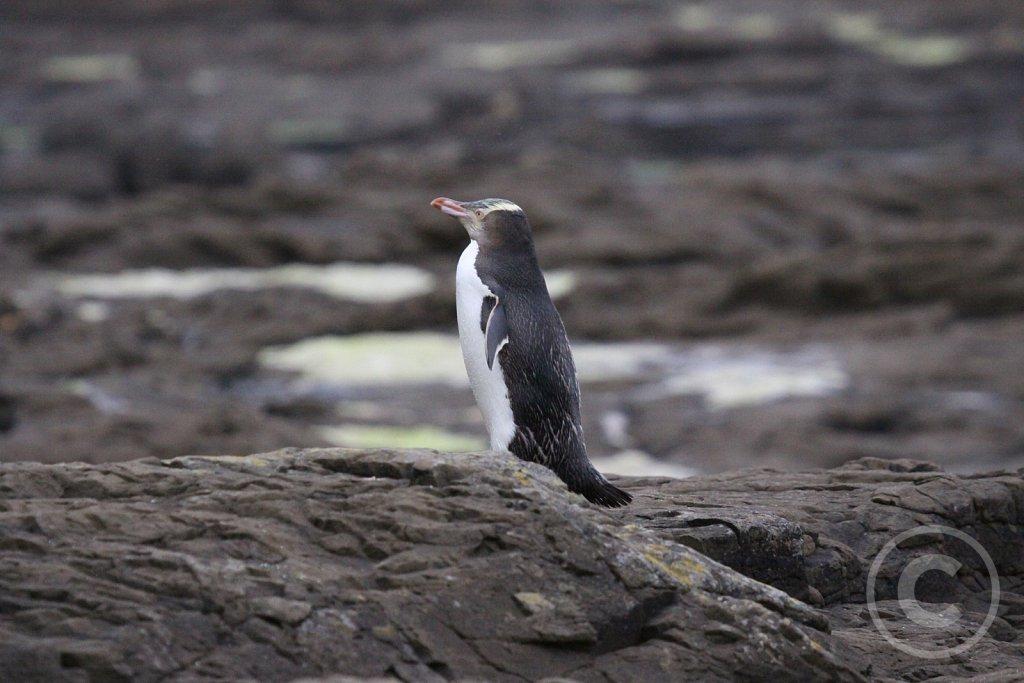 Guløjet pingvin