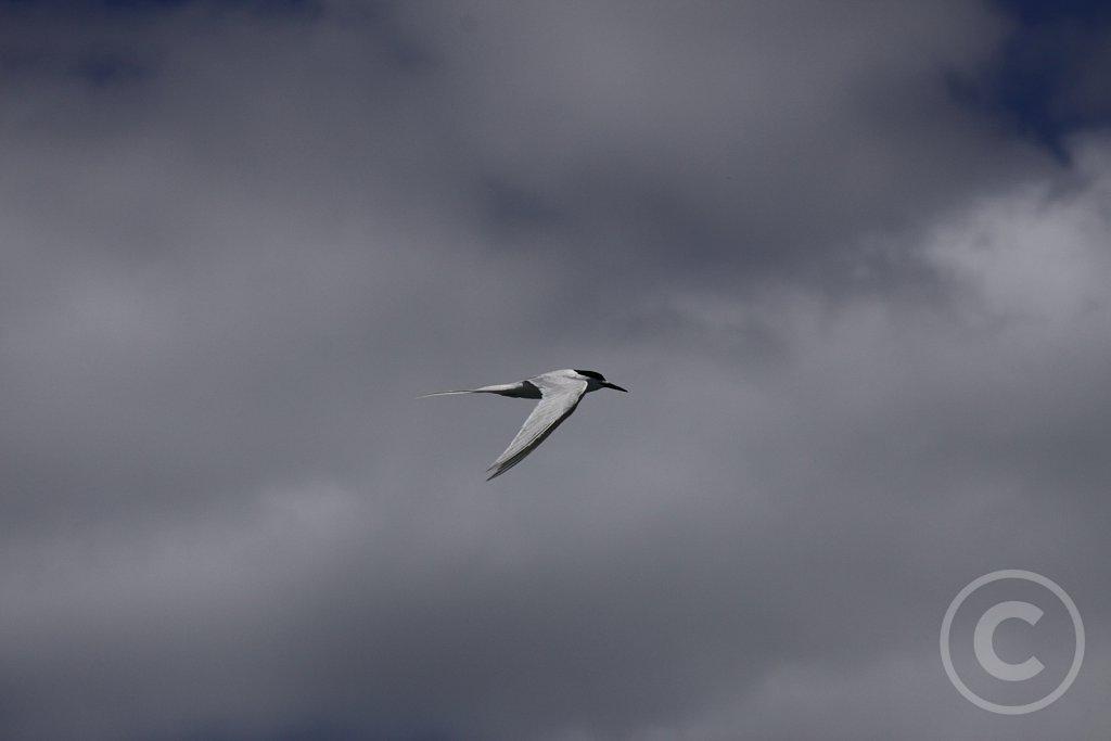 Hvidpandet-terne-2.JPG