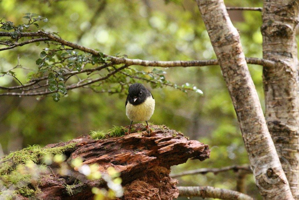 NZ-Robin1.JPG