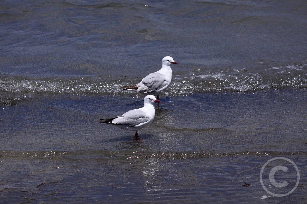 Måger og stormfugle