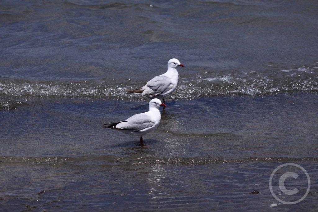 Red-billed-Gull.JPG
