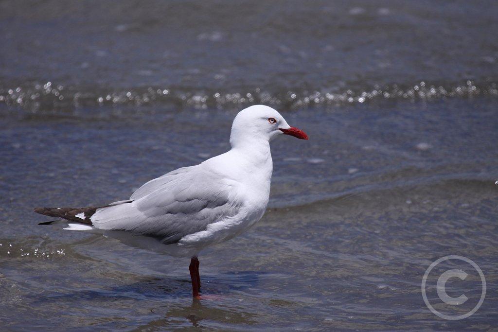Red-billed-Gull1.JPG