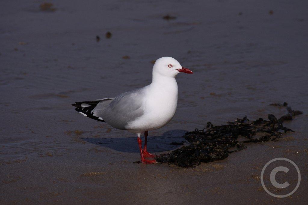 Red-billed-Gull2.JPG