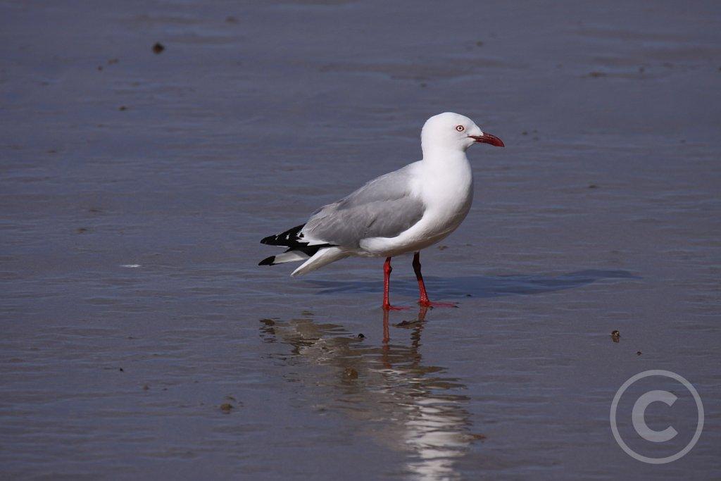 Red-billed-Gull3.JPG