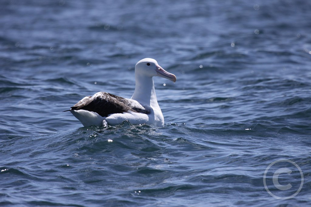 Royal-albatros.JPG