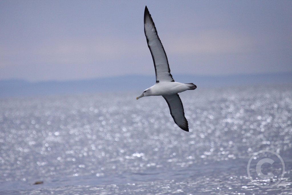 Shy-albatros1.JPG