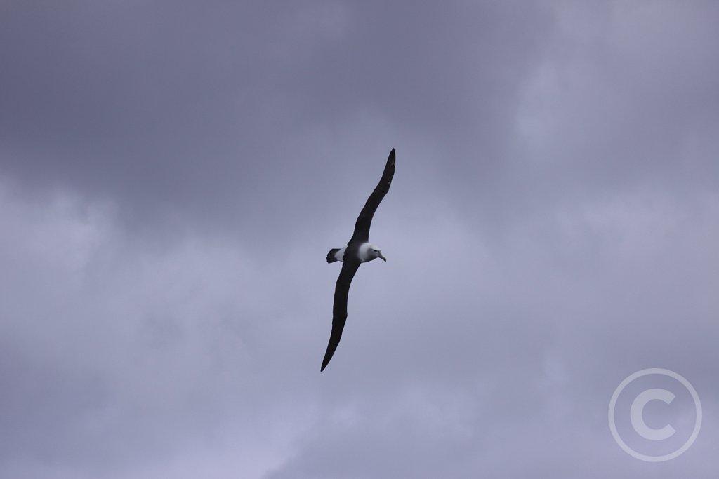 Shy-albatros2.JPG