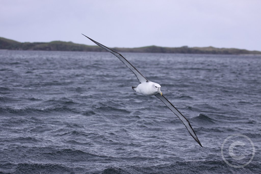 Shy-albatros3.JPG