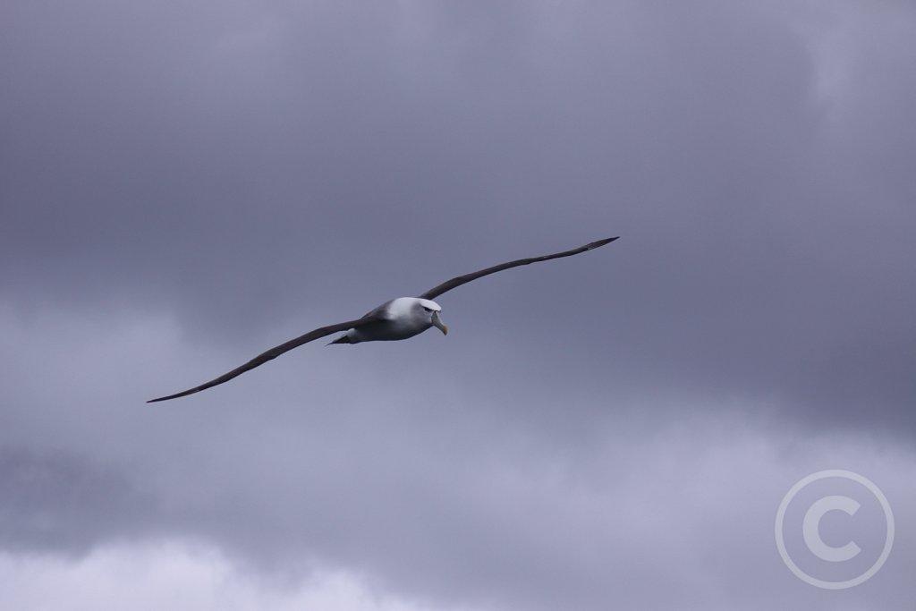 Shy-albatros4.JPG