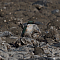 sacredkingfisher002.png