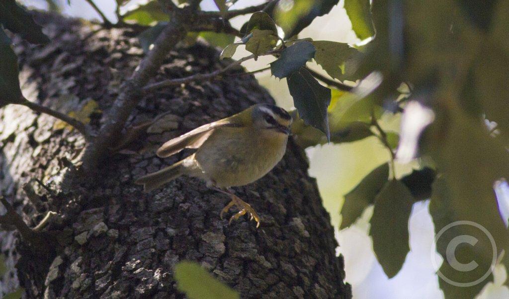 balearica-Rodtoppetfugle-konge-2.jpg