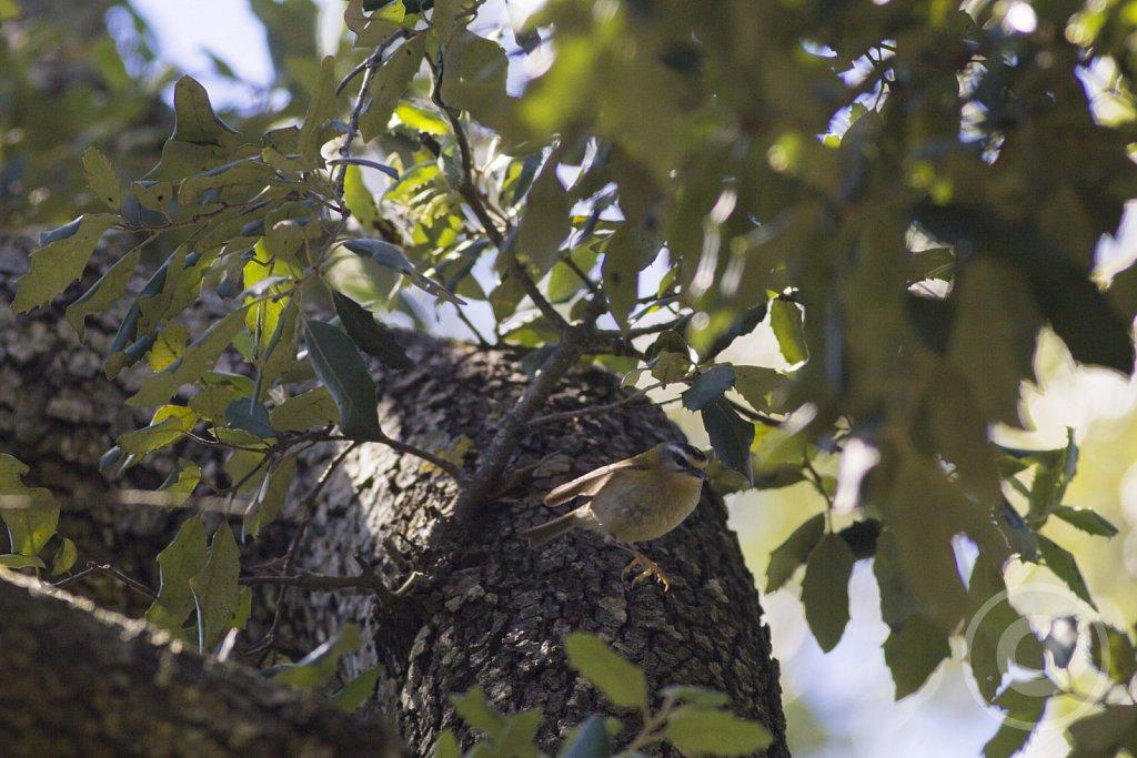 balearica-Rodtoppetfugle-konge.jpg